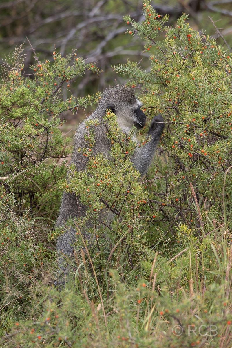 Grüne Meerkatze, Mountain Zebra National Park