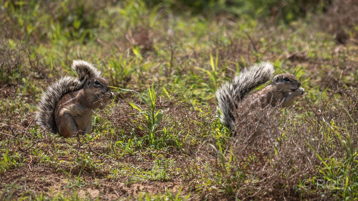 Kap-Borstenhörnchen, Mountain Zebra National Park
