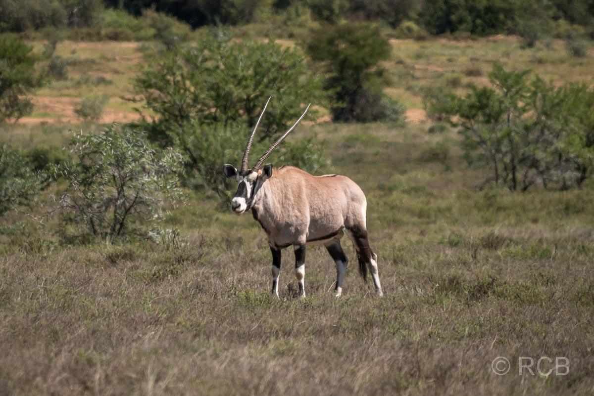 Oryx-Antilope, Mountain Zebra National Park