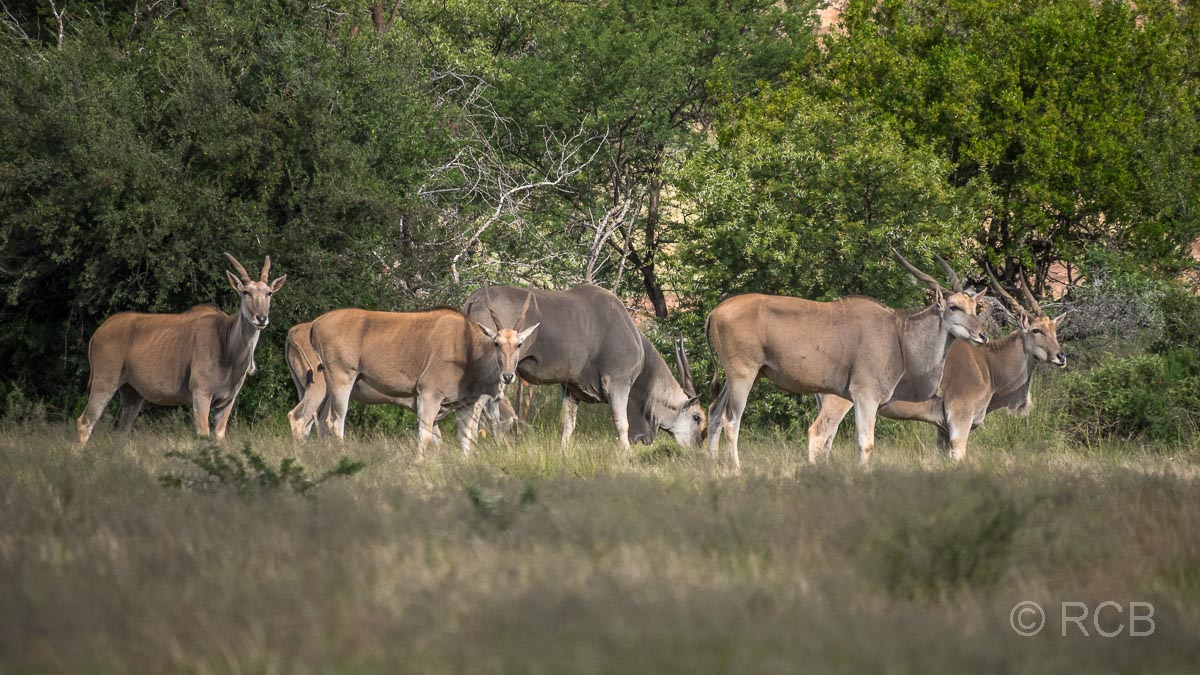 Elen-Antilopen, Mountain Zebra National Park
