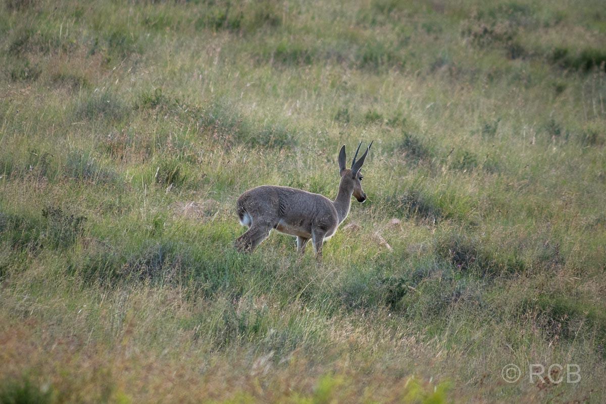 Rehantilope, Mountain Zebra National Park