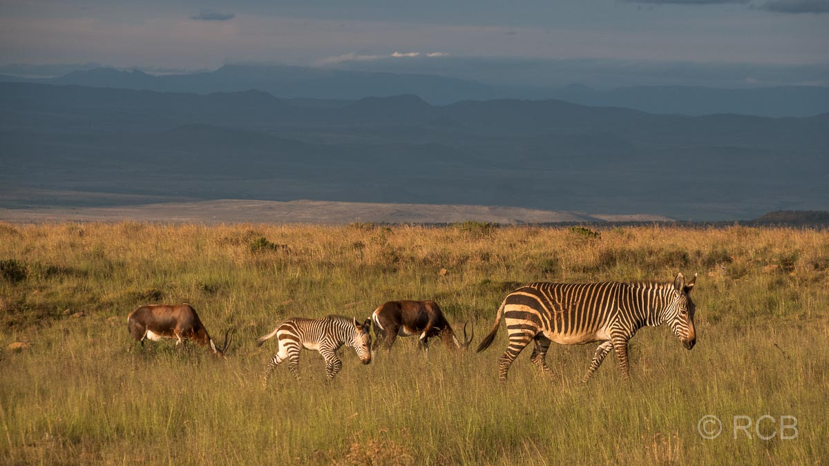 Bergzebras und Blessböcke,Mountain Zebra National Park
