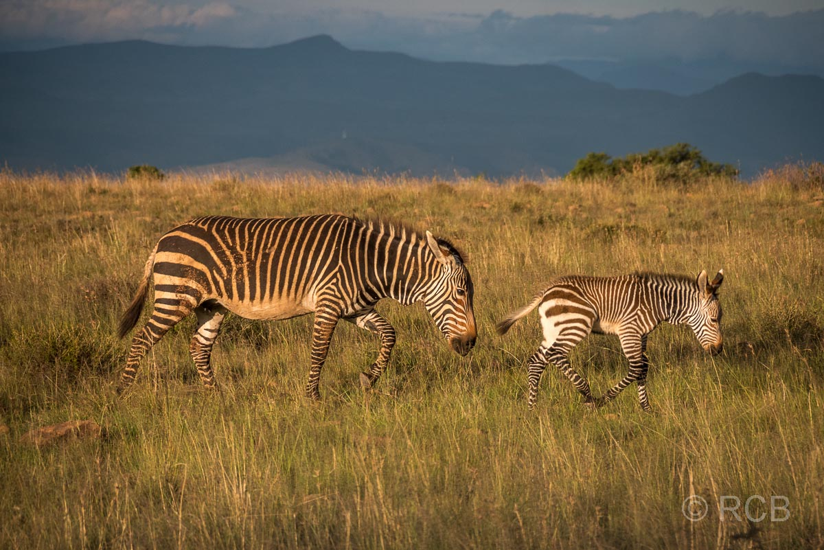 Bergzebra mit Jungem, Mountain Zebra National Park