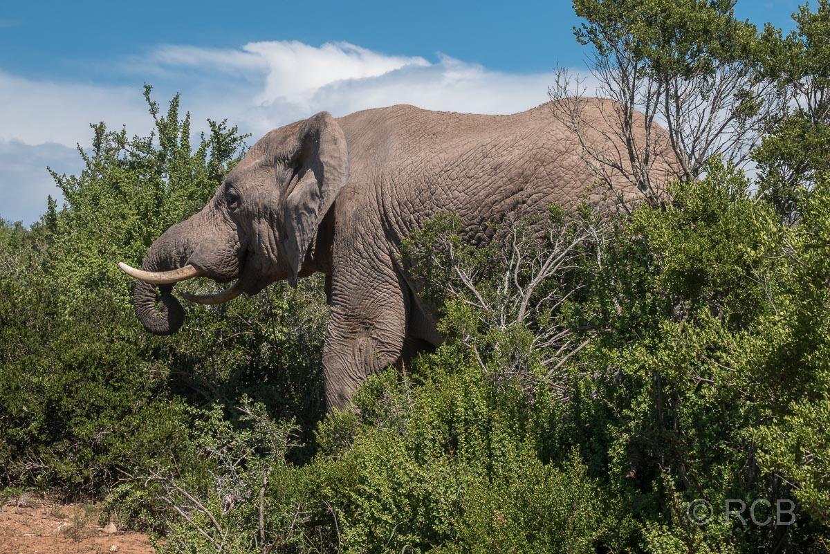 Elefant, Addo Elephant National Park