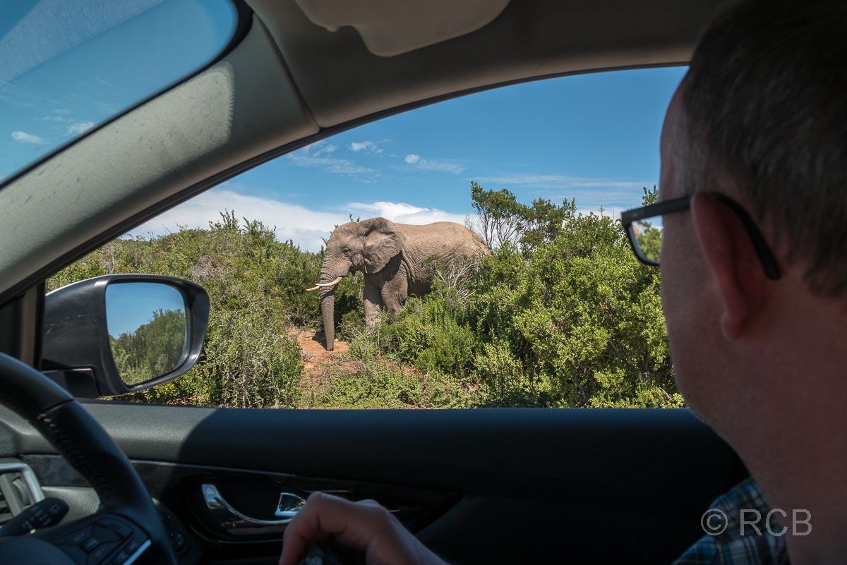 Mann betrachtet aus dem Auto heraus einen direkt daneben stehenden Elefant, Addo Elephant National Park