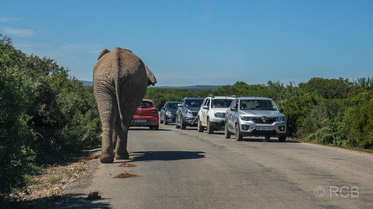 Elefant läuft an einer Schlange von Autos vorbei, Addo Elephant National Park