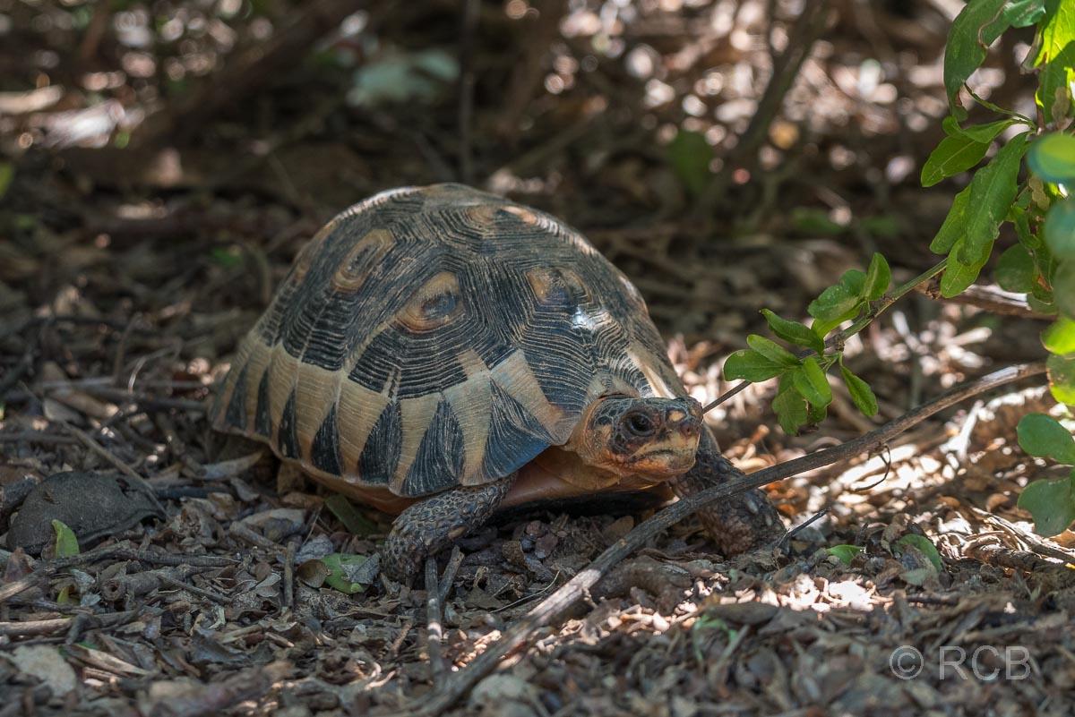 Schildkröte, Addo Elephant National Park