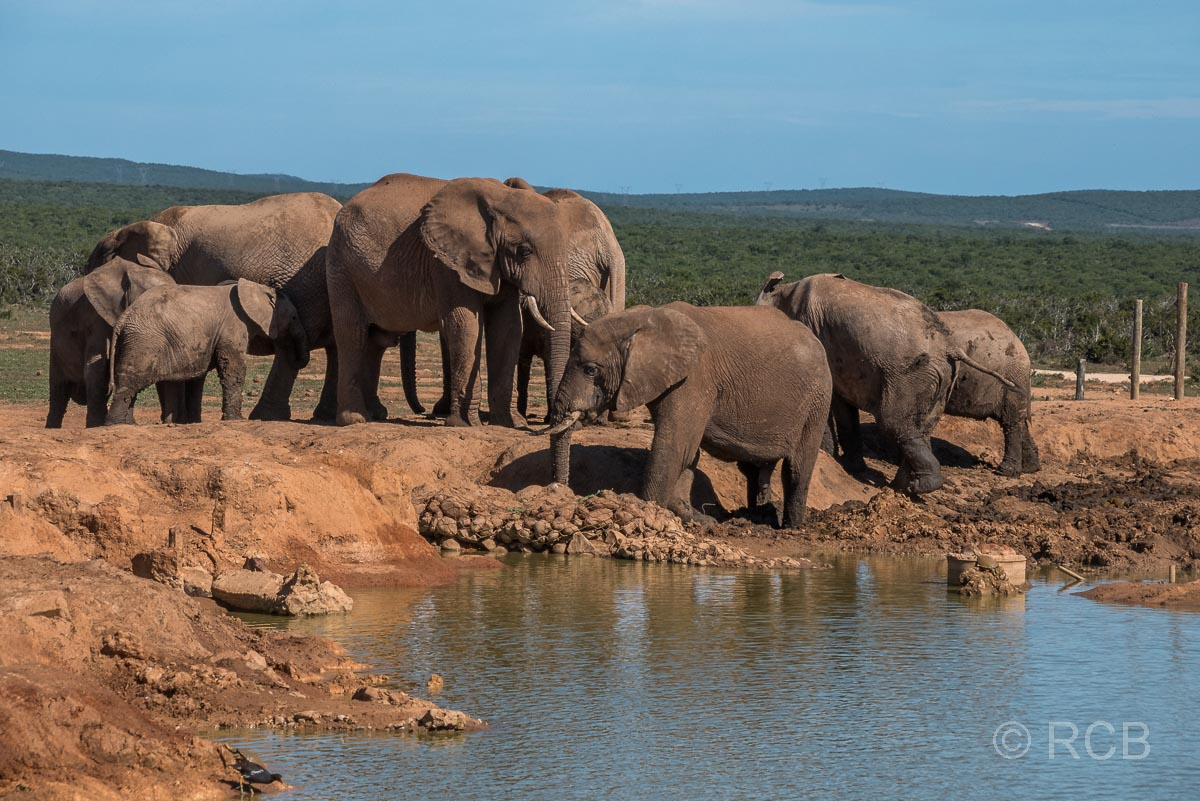 Elefantenherde am Hapoor Dam, Addo Elephant National Park