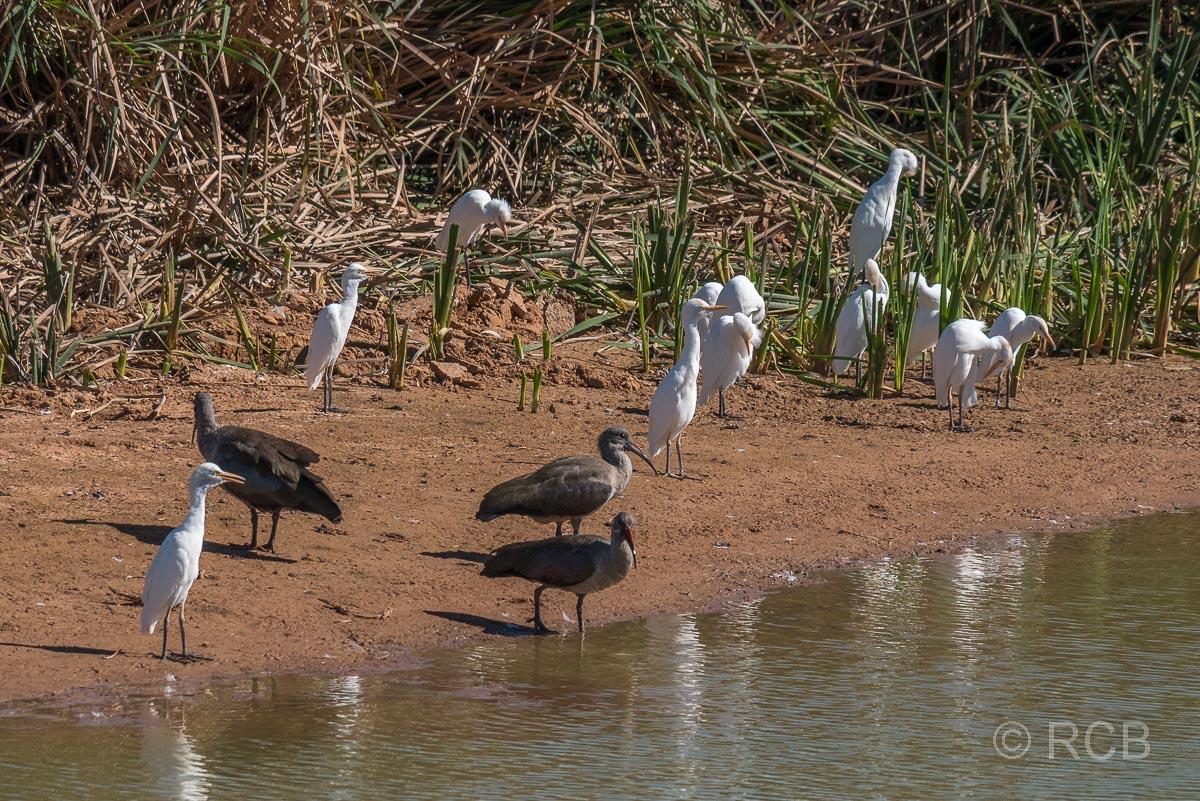 Kuhreiher und Hagedasche, Addo Elephant National Park