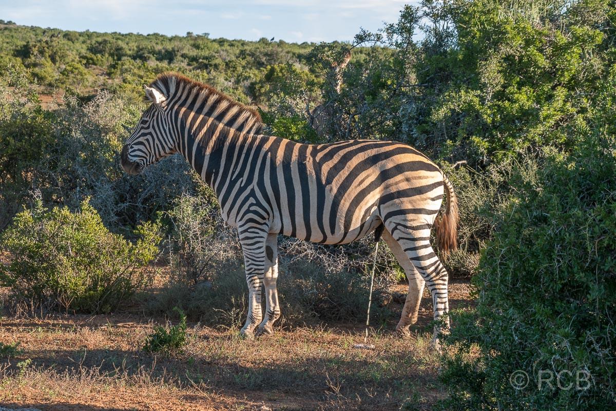 Steppenzebra uriniert, Addo Elephant National Park