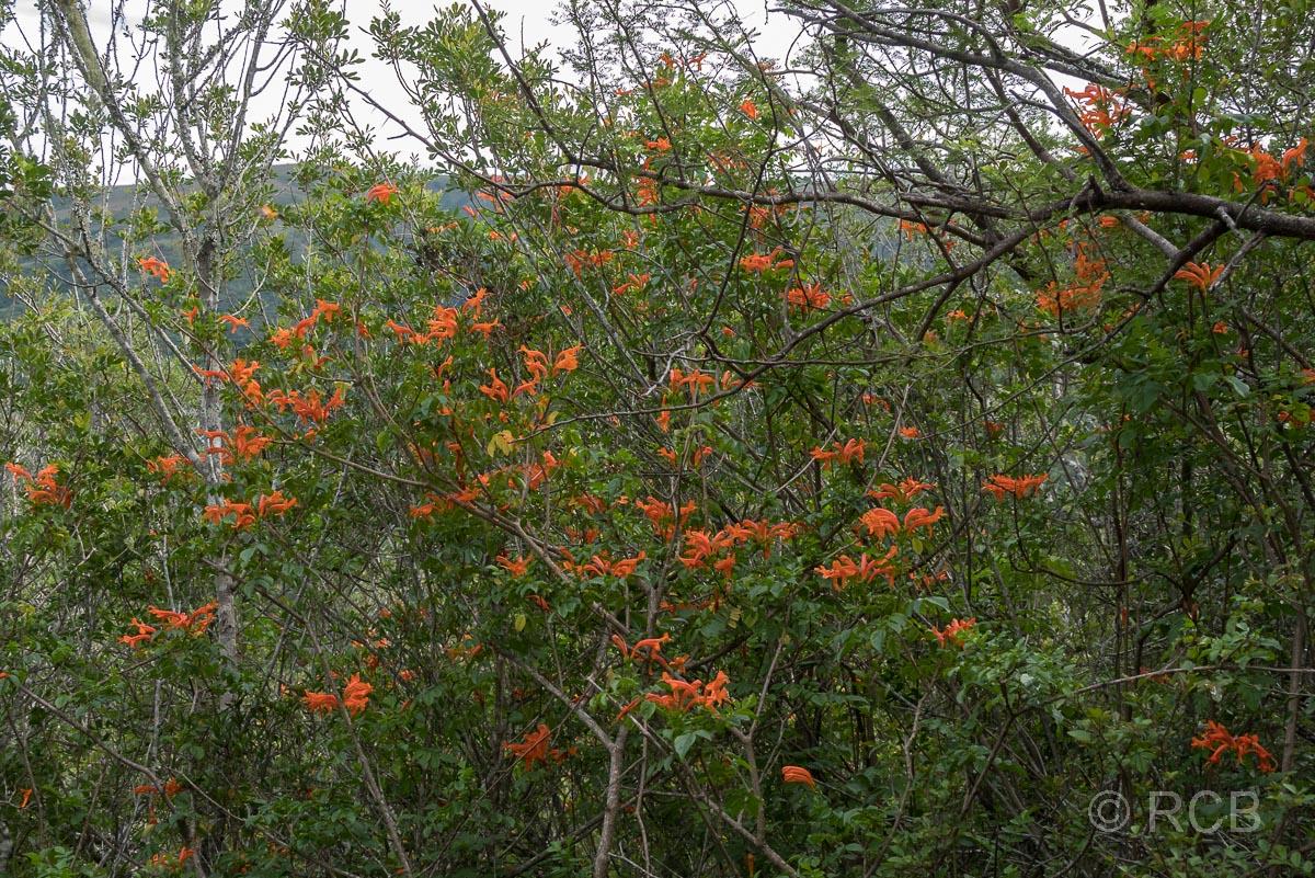 orangefarbene Blüten am Doringhek Trail, Addo Elephant National Park