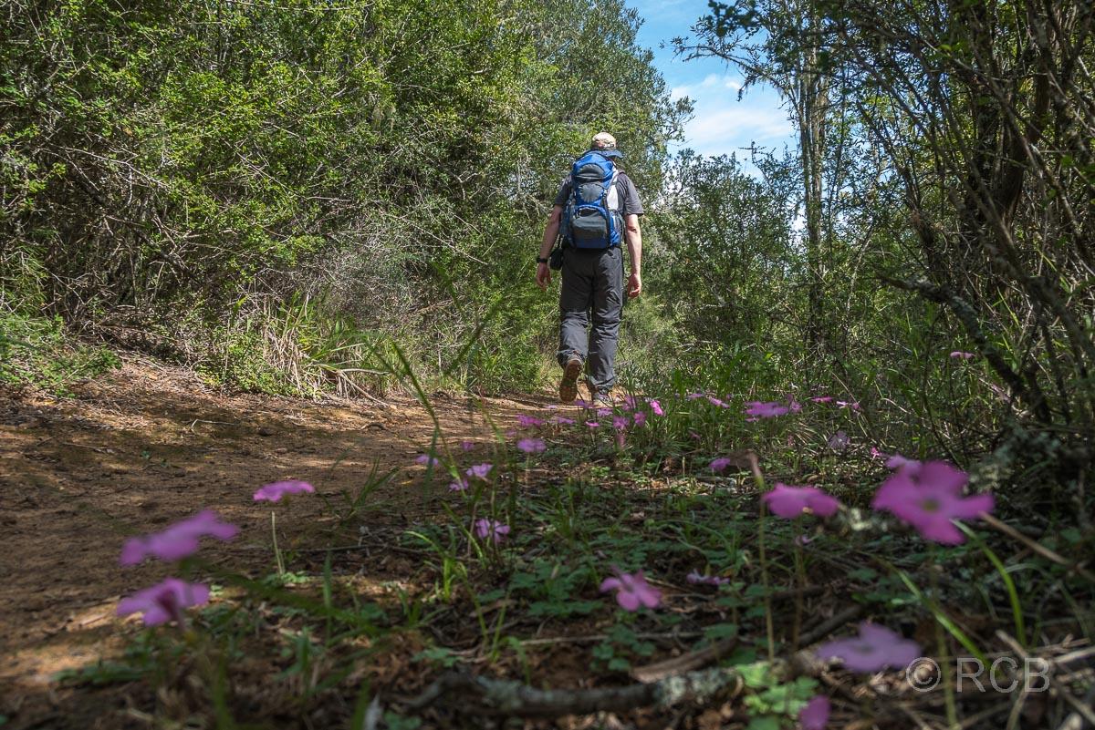 Mann wandert vorbei an rosafarbenen Blüten auf dem Doringhek Trail, Addo Elephant National Park