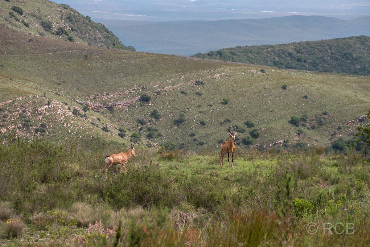 Kap-Hartebeests am Wegesrand auf dem Doringhek Trail, Addo Elephant National Park