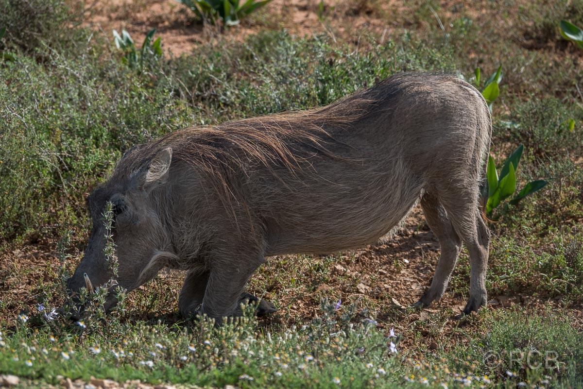 Warzenschwein, Addo Elephant National Park