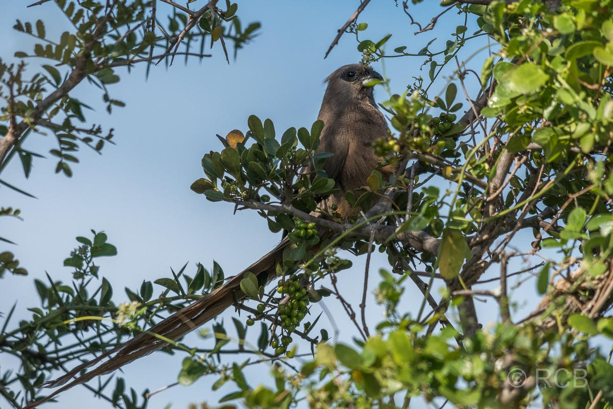 Braunflügel-Mausvogel, Addo Elephant National Park