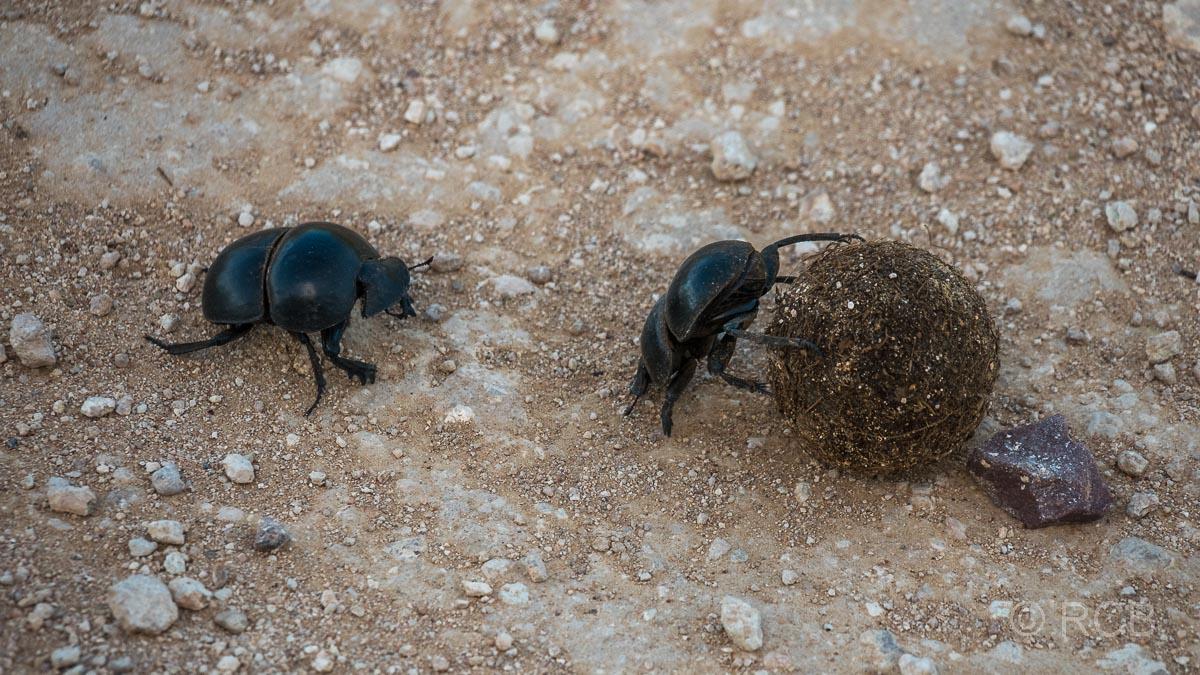 Flugunfähiger Mistkäfer rollt eine Dungkugel, Addo Elephant National Park