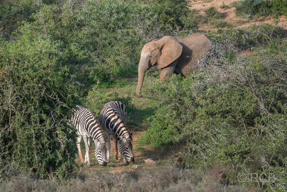 Elefant und Steppenzebras, Addo Elephant National Park