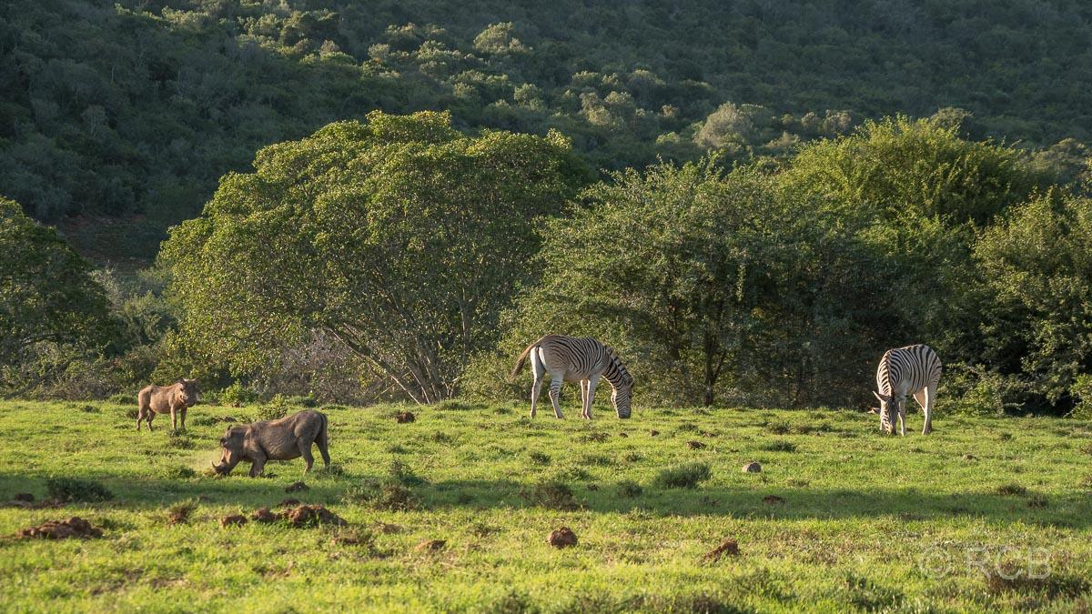 Warzenschweine und Steppenzebras, Addo Elephant National Park