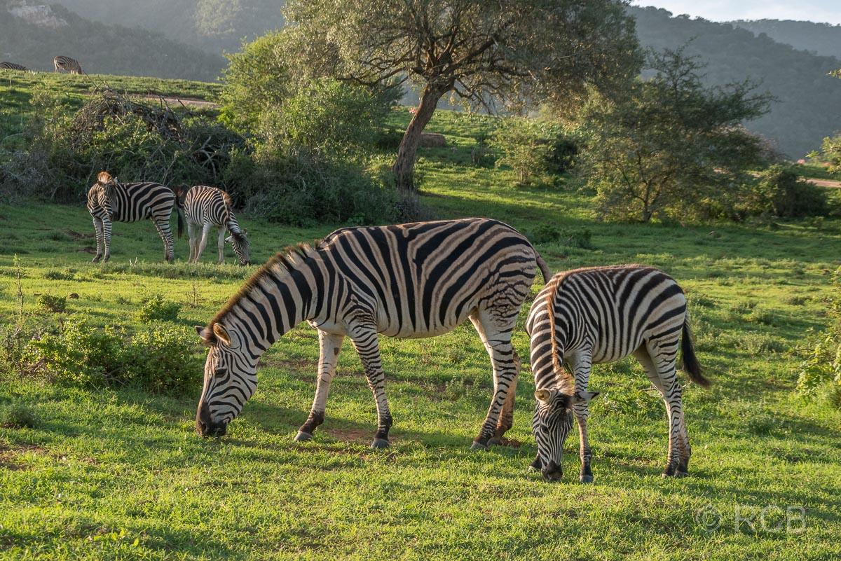 Steppenzebras, Addo Elephant National Park