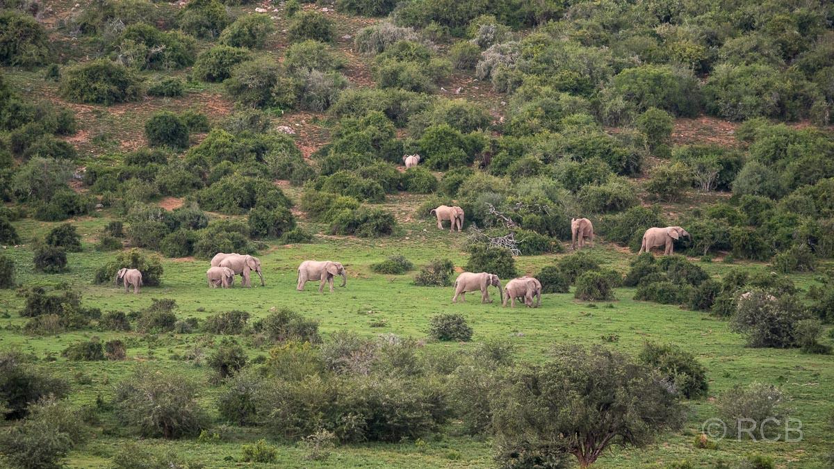 Elefantenherde zieht durch die Buschlandschaft, Addo Elephant National Park