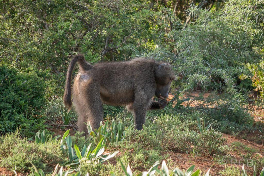 Bärenpavian, Addo Elephant National Park