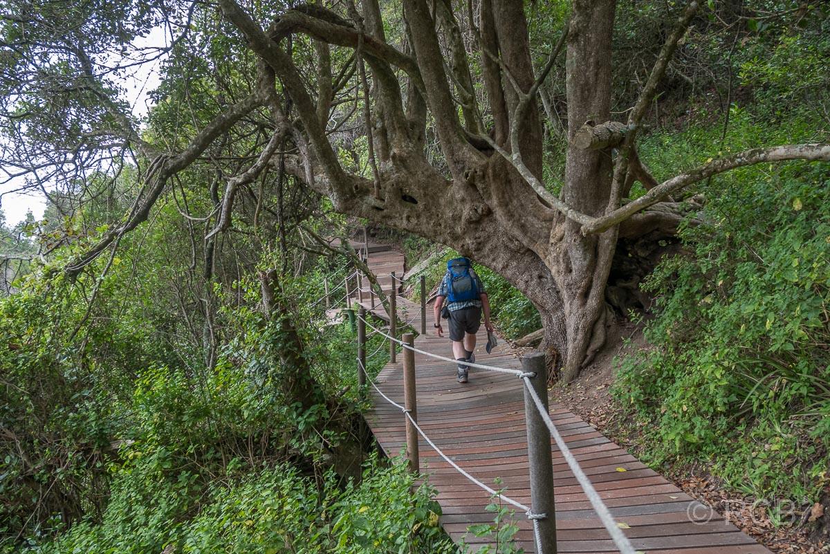 Mann geht gebückt unter einem Baum durch auf dem Storms River Mouth Trail, Tsitsikamma Section des Garden Route National Park