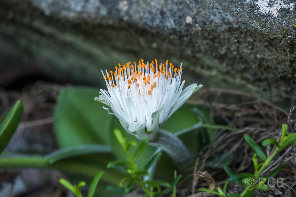 weiße Blüte auf dem Waterfall Trail, Tsitsikamma Section des Garden Route National Park