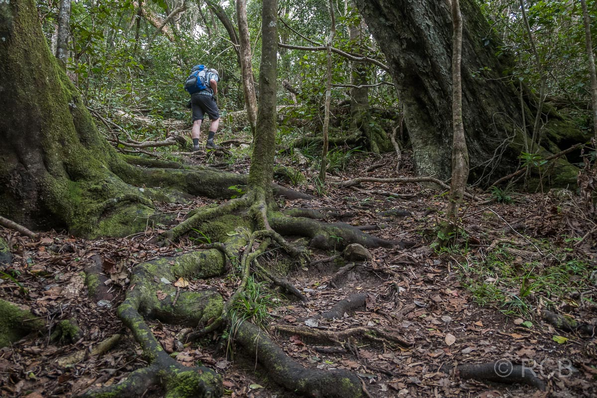 Wanderer geht über Wurzeln auf dem Blue Duiker Trail, Tsitsikamma Section des Garden Route National Park