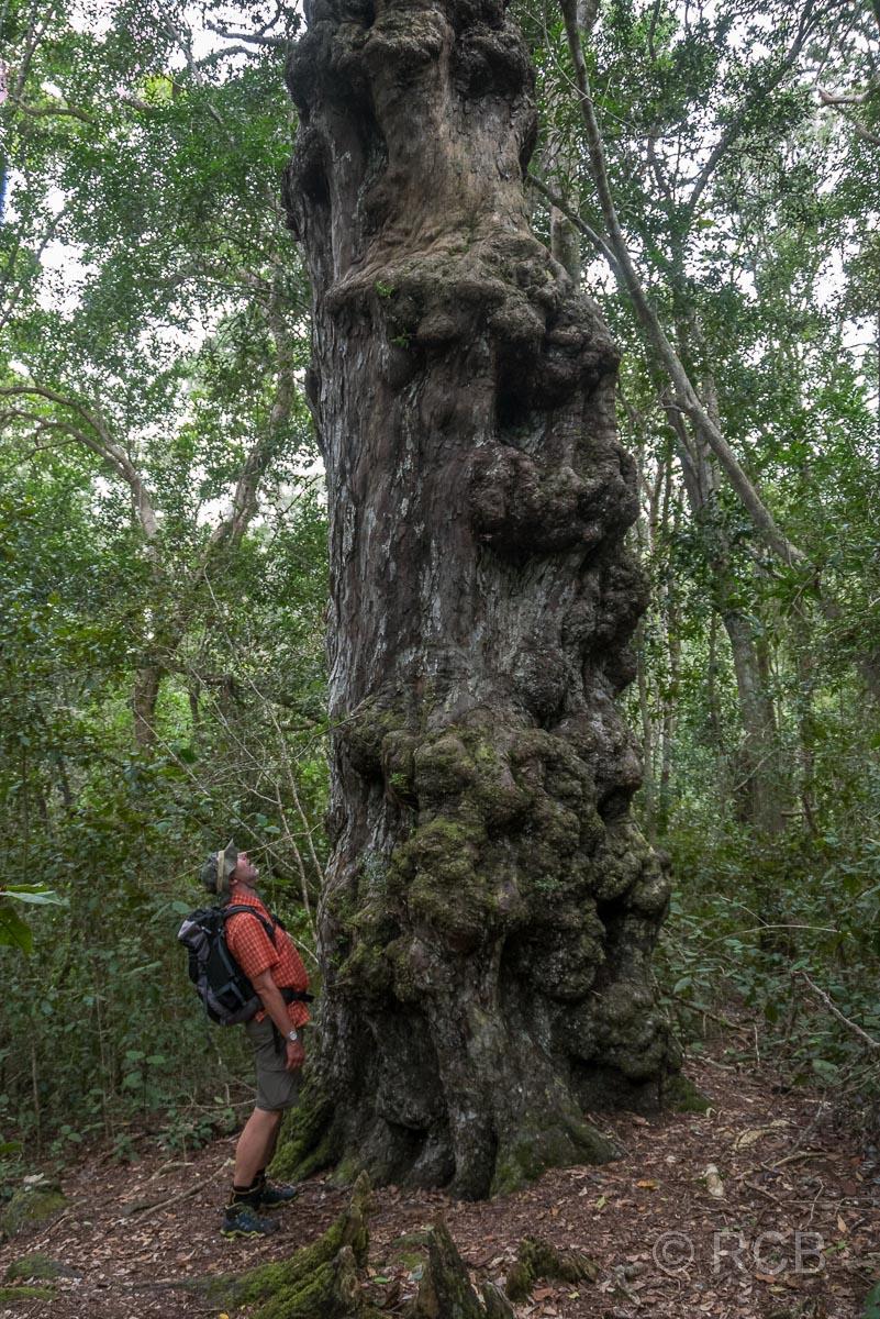 Wanderer bestaunt einen großen Yellowwood Tree am Blue Duiker Trail, Tsitsikamma Section des Garden Route National Park