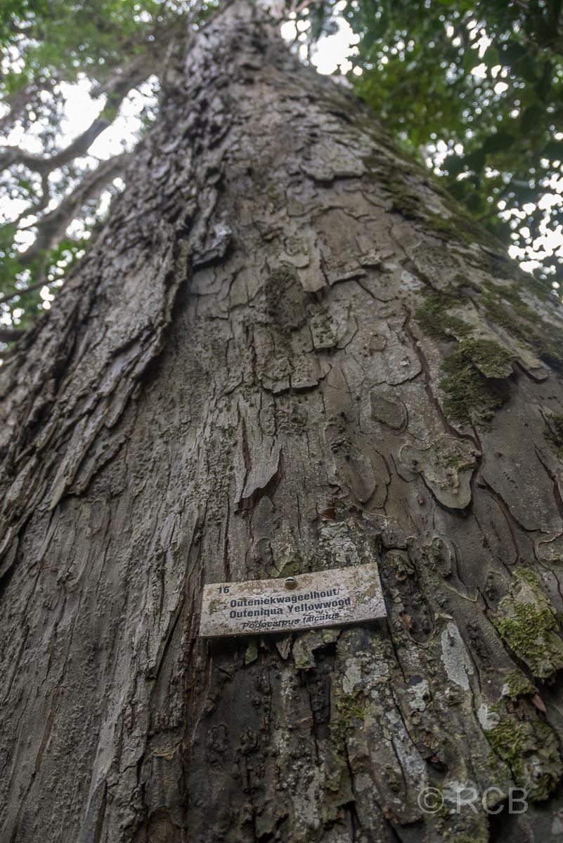 Yellowwood Tree am Blue Duiker Trail, Tsitsikamma Section des Garden Route National Park