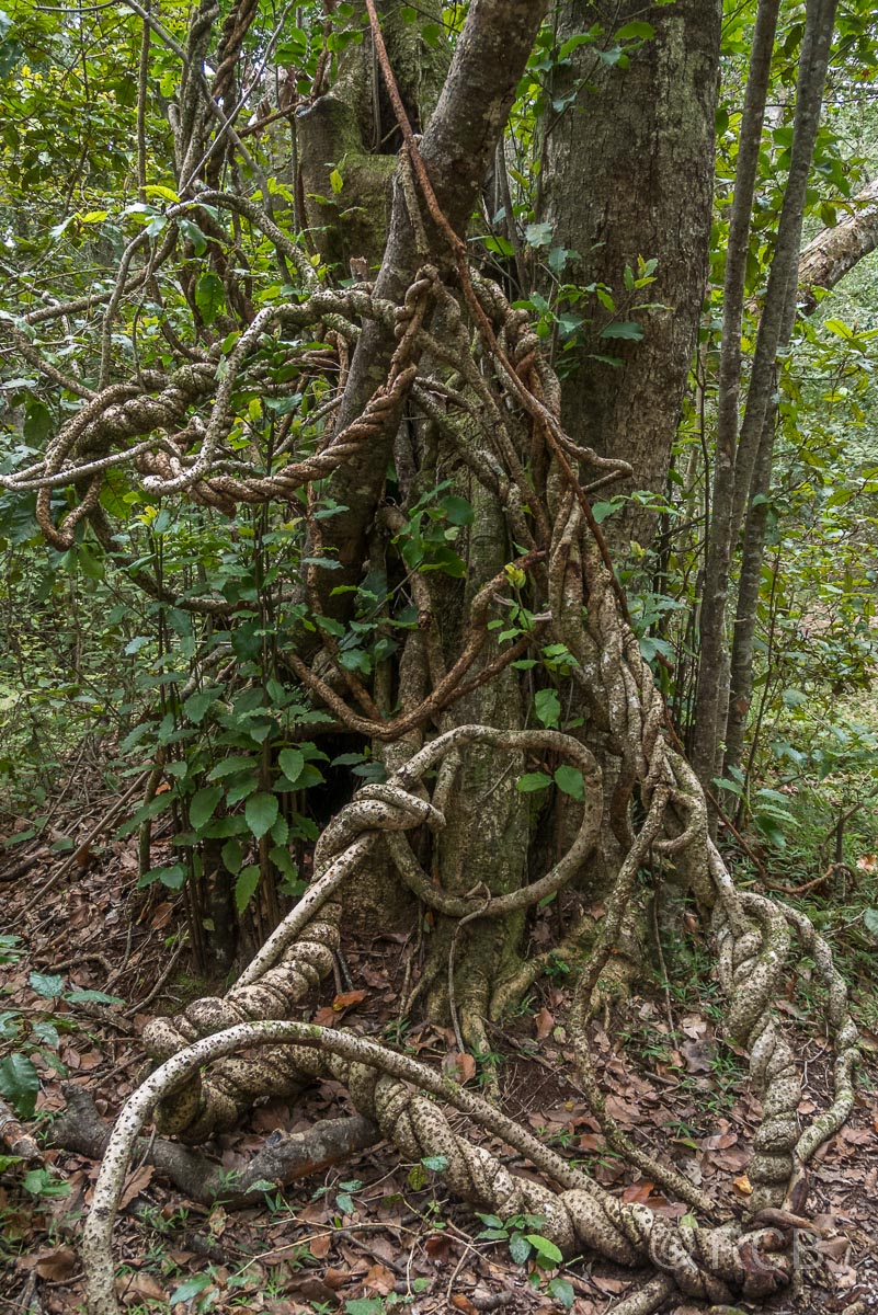 Würgeschlingengewächs am Blue Duiker Trail, Tsitsikamma Section des Garden Route National Park