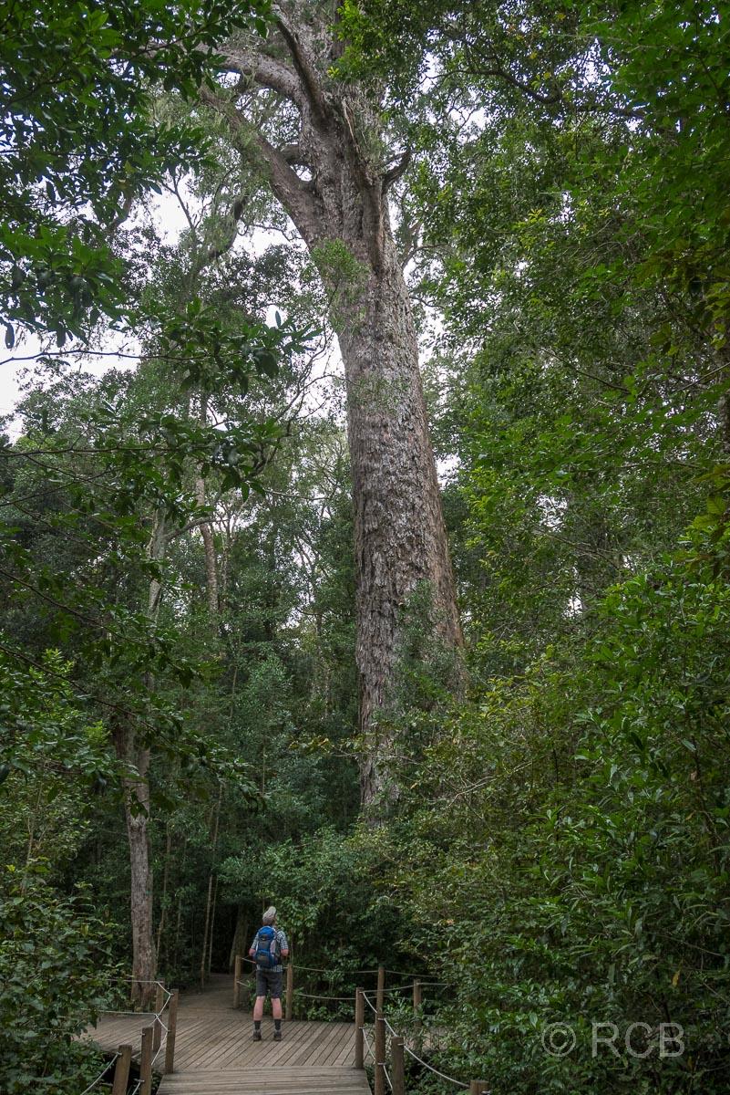 """Mann bestaunt den hochgewachsenen """"Big Tree"""" in der Tsitsikamma Section des Garden Route National Park"""