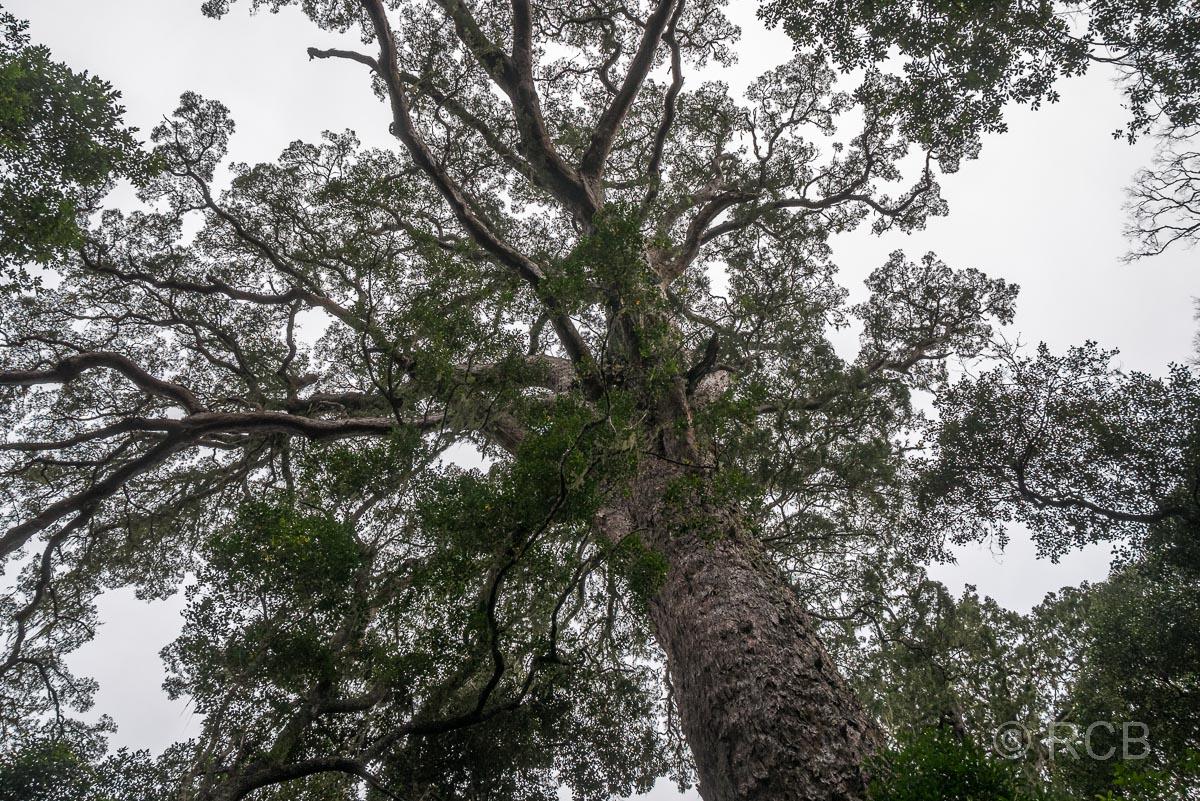 """Krone des sog. """"Big Tree"""" in der Tsitsikamma Section des Garden Route National Park"""
