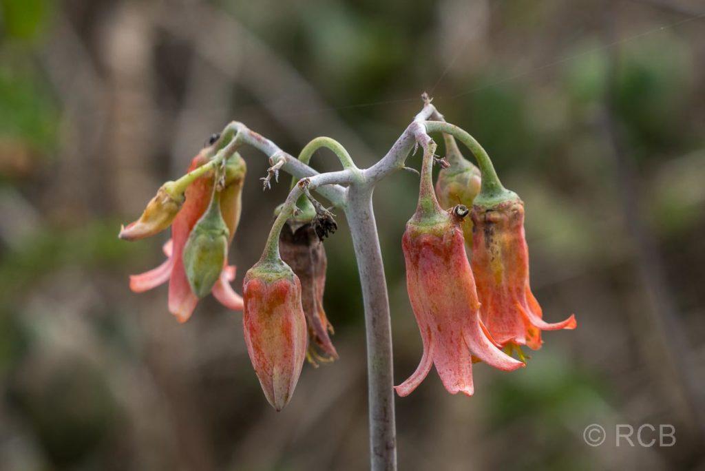 rote Blüten auf der Robberg Peninsula