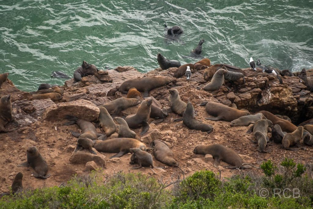 Seebären-Kolonie auf der Robberg Peninsula