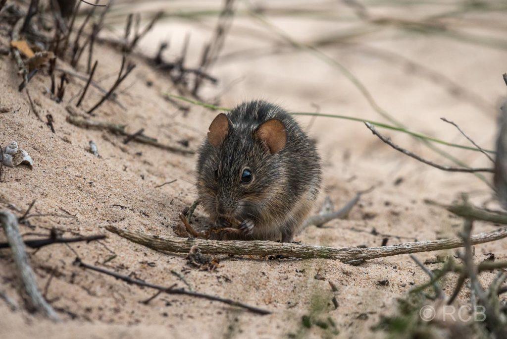 Maus auf der Robberg Peninsula