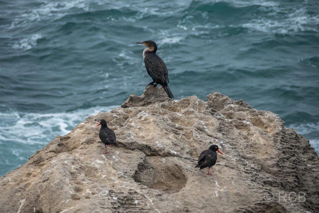 Kormoran und 2 Austernfischer auf einem Felsen, Robberg Peninsula