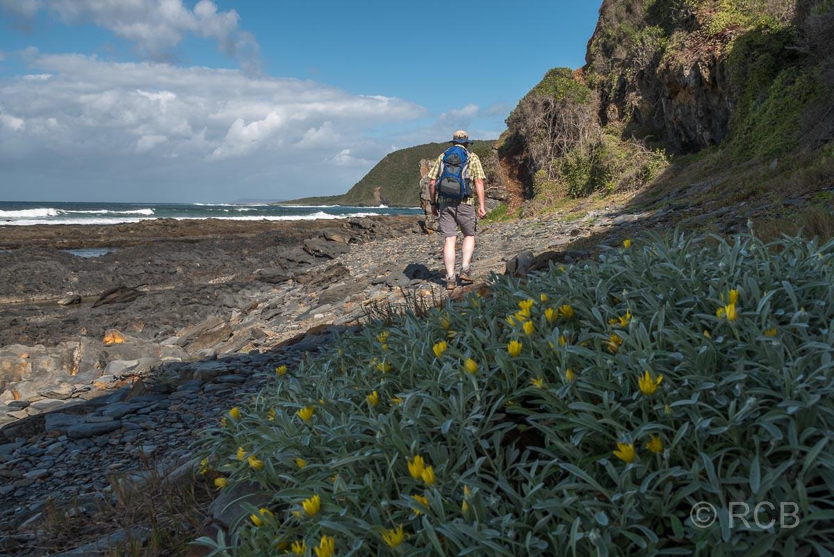 Mann wandert entlang gelber Blumen auf dem Salt River Mouth Trail bei Nature's Valley