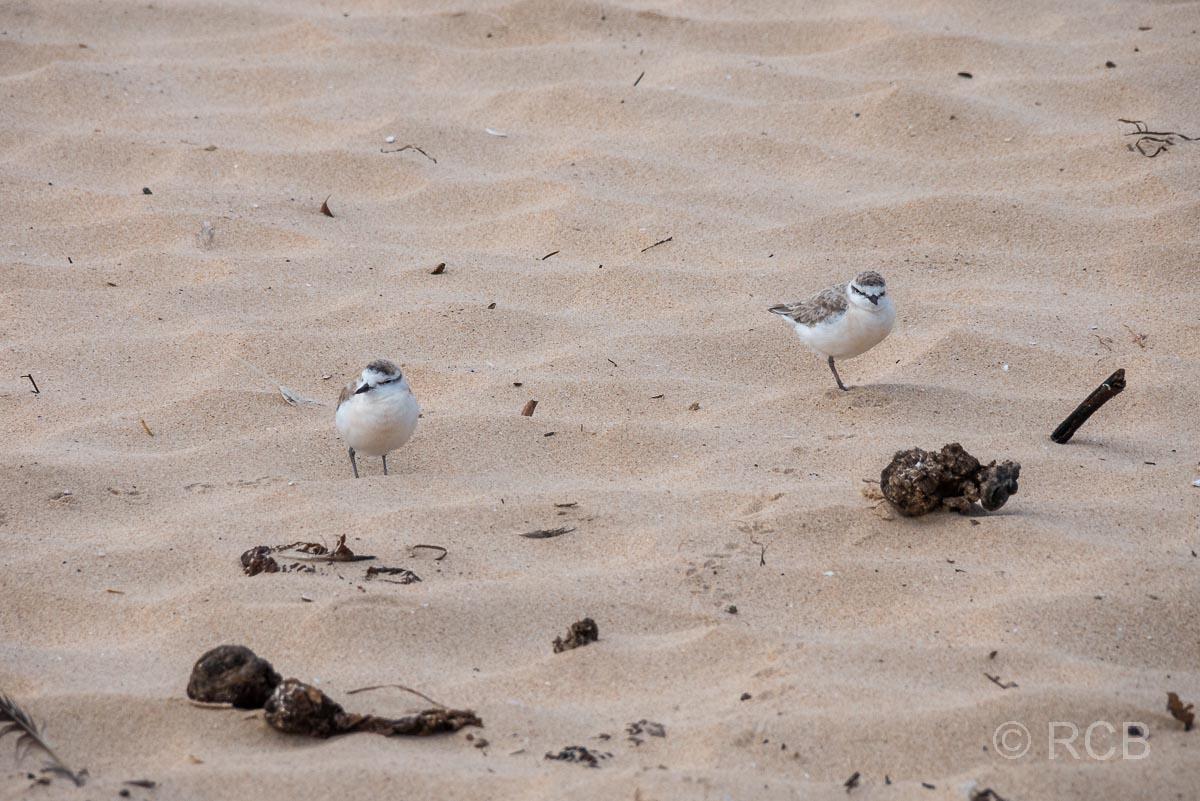Weißstirn-Regenpfeifer am Strand von Nature's Valley
