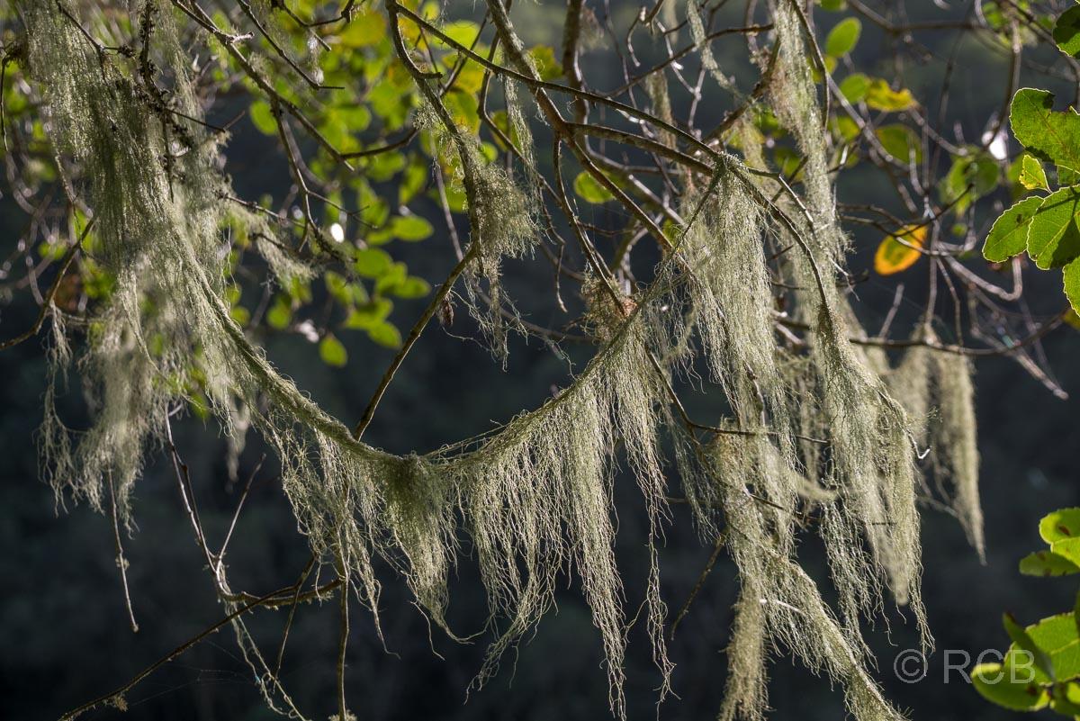 Flechten an einem Baum im Tal des Touws River bei Wilderness