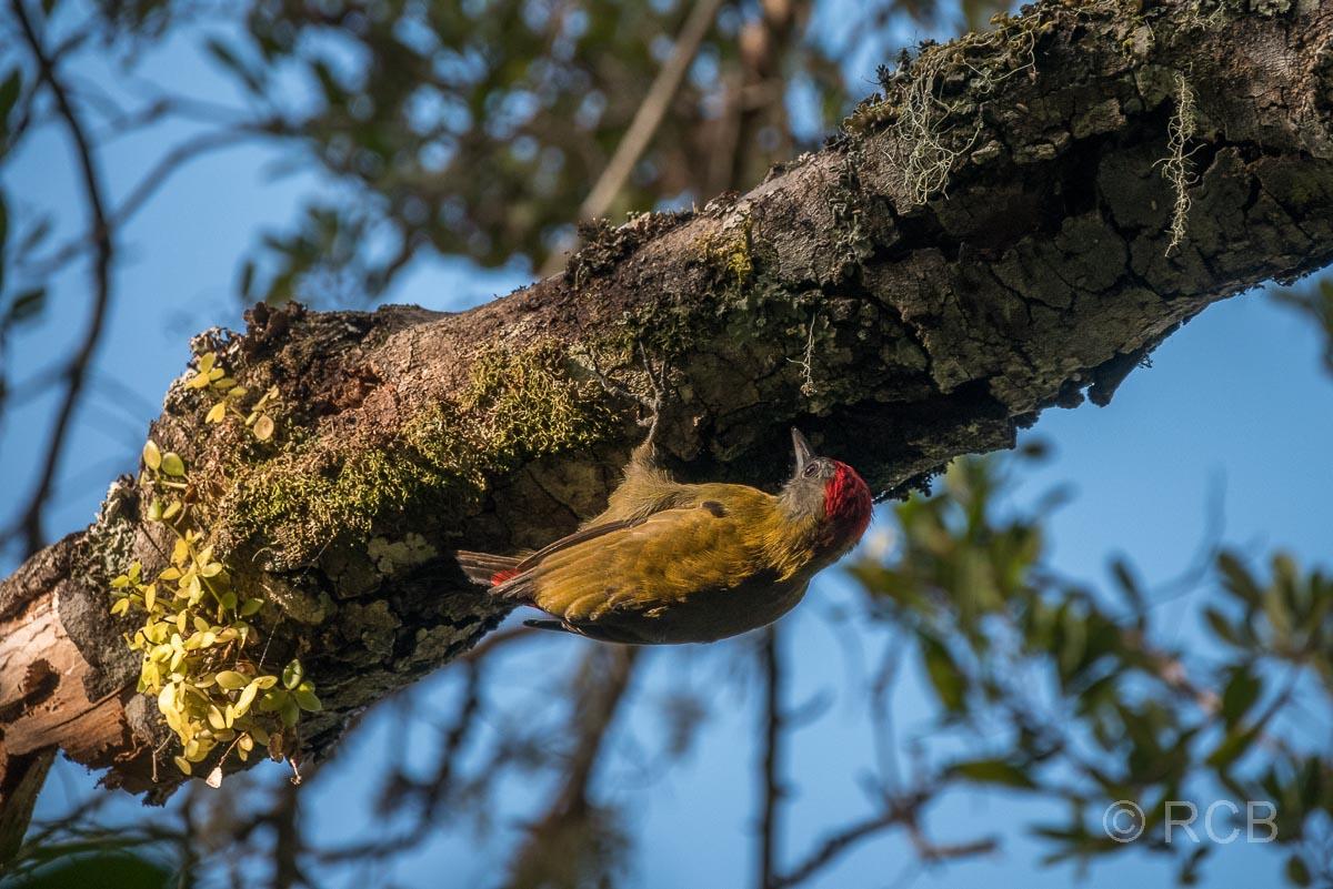 Goldrückenspecht auf dem Half Collared King Fisher Trail bei Wilderness