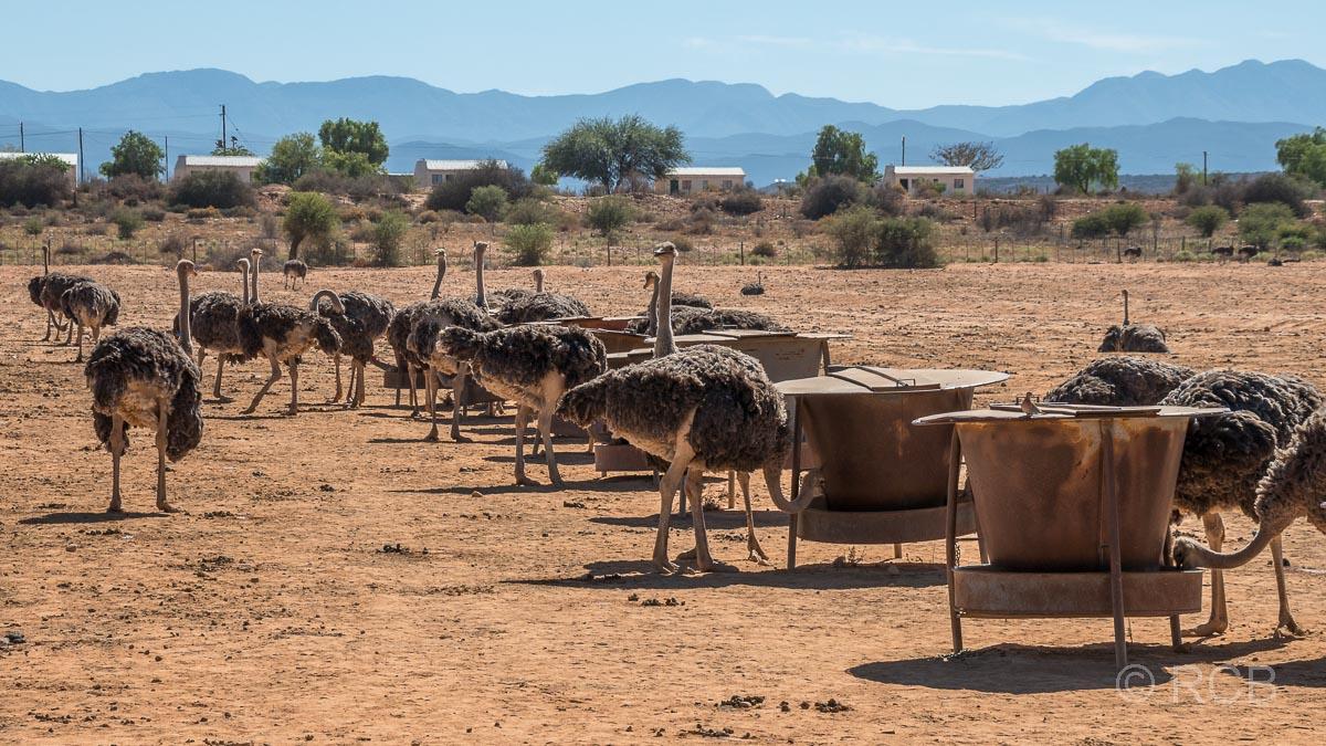 Straußenherde an einer Futterstelle auf der Safari Ostrich Farm, Oudtshoorn