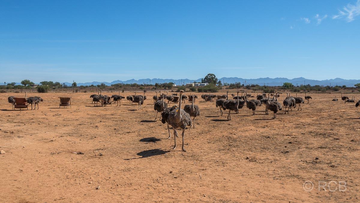 Straußenherde auf der Safari Ostrich Farm, Oudtshoorn