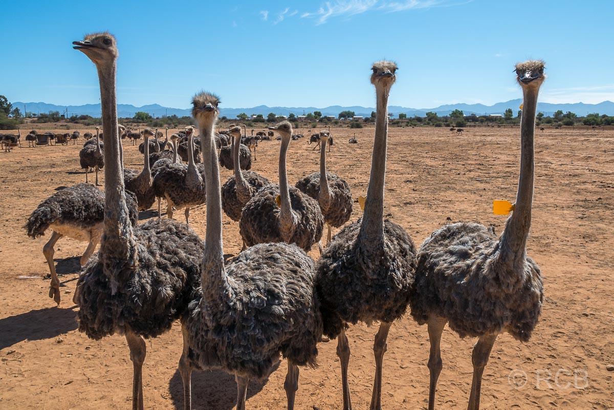 Strauße auf der Safari Ostrich Farm, Oudtshoorn