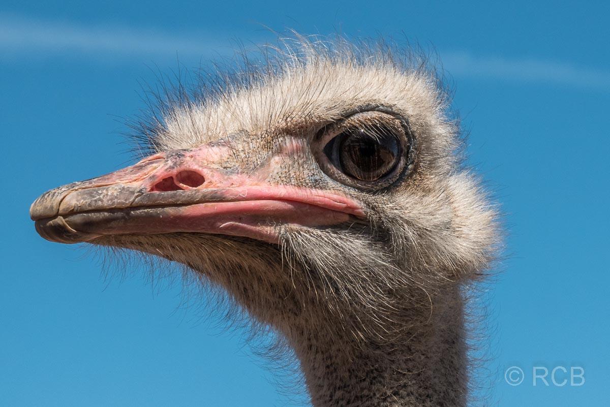 Straußenkopf, Safari Ostrich Farm, Oudtshoorn