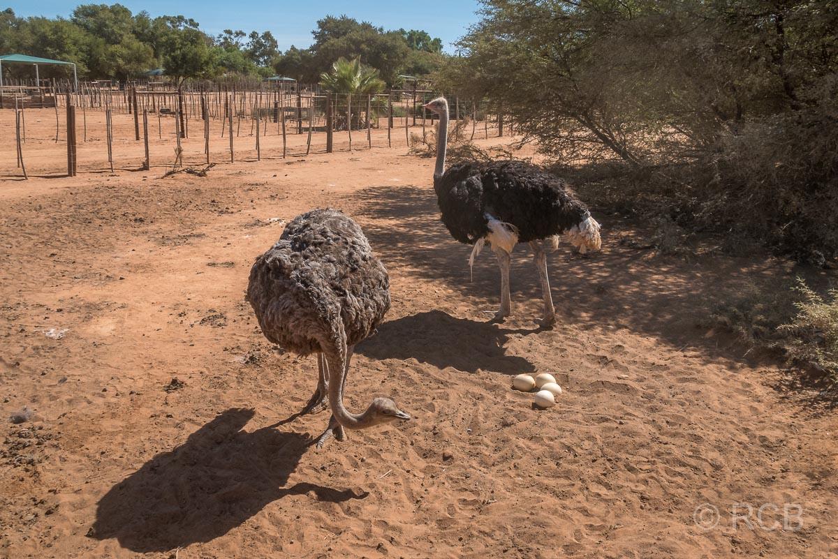2 Strauße mit Eiern, Safari Ostrich Farm, Oudtshoorn
