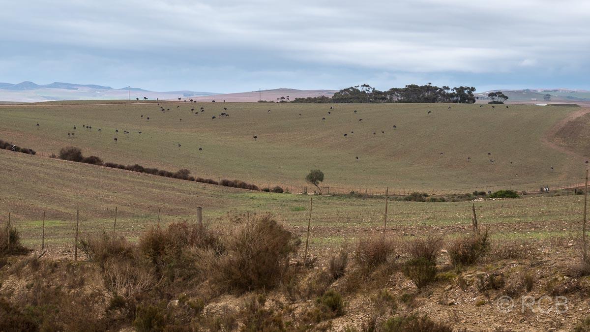 riesige Weide mit Straußen auf einer Straußenfarm