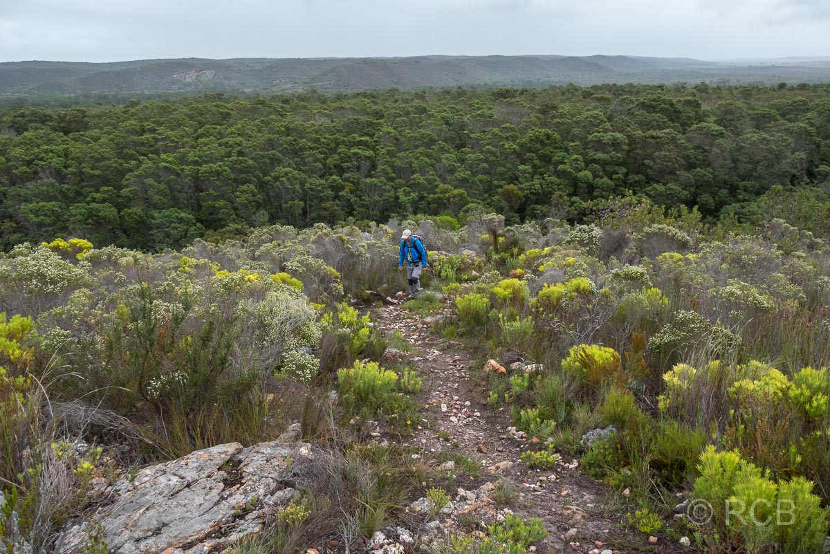Mann wandert bergauf durch Fynbos, Potberg Section, De Hoop Nature Reserve