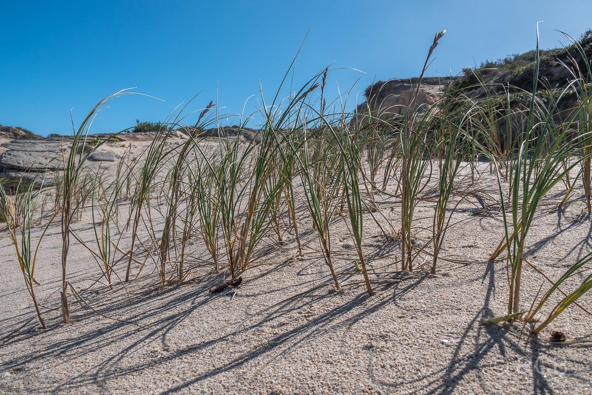 Gras im Sand einer Düne, De Hoop Nature Reserve
