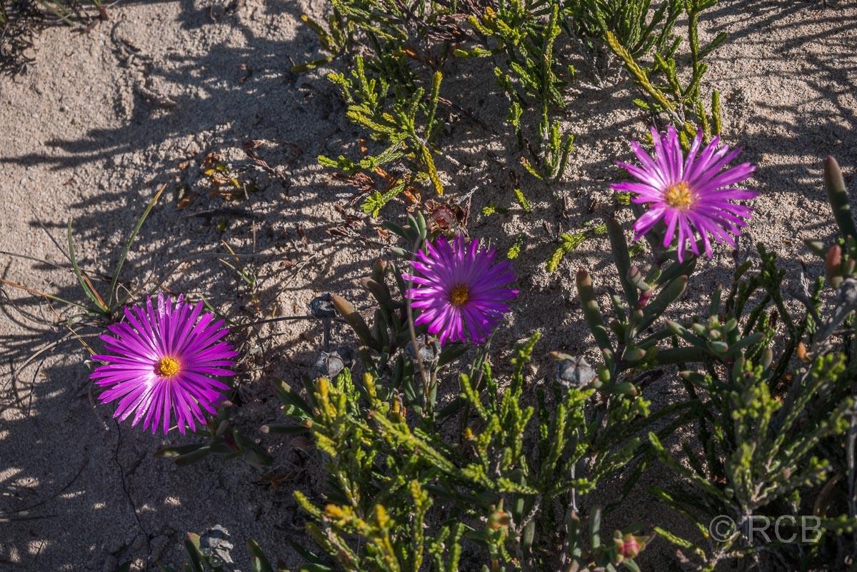 Mittagsblumen, De Hoop Nature Reserve